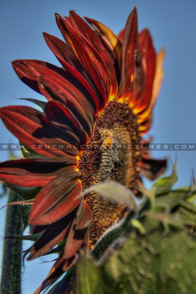 avila barn sunflowers 5726