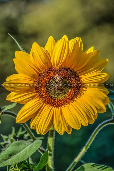 avila barn sunflowers 5650
