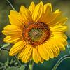 avila barn sunflowers 5649