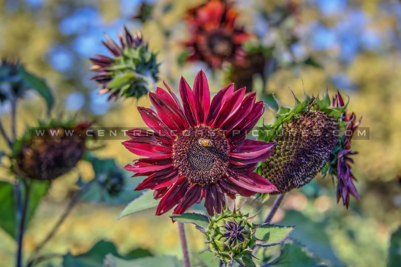 avila barn sunflowers 5661