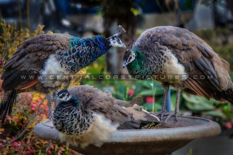 peacock 2747
