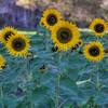 avila barn sunflowers 5721