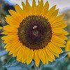 avila barn sunflowers 5702