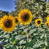 avila barn sunflowers 5693