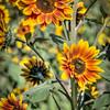 avila barn sunflowers 5669