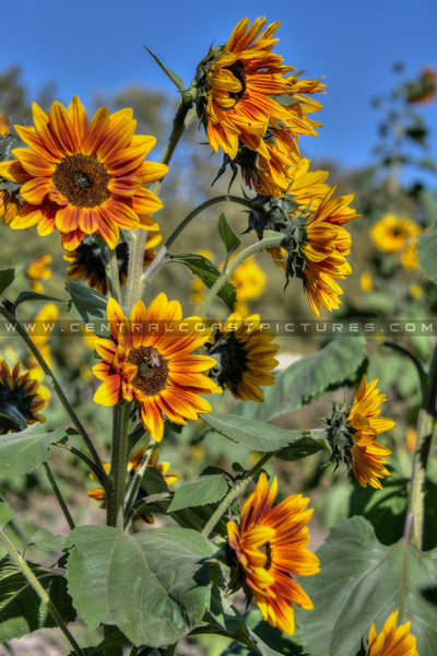 avila barn sunflowers 5672
