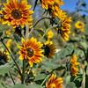 avila barn sunflowers 5672