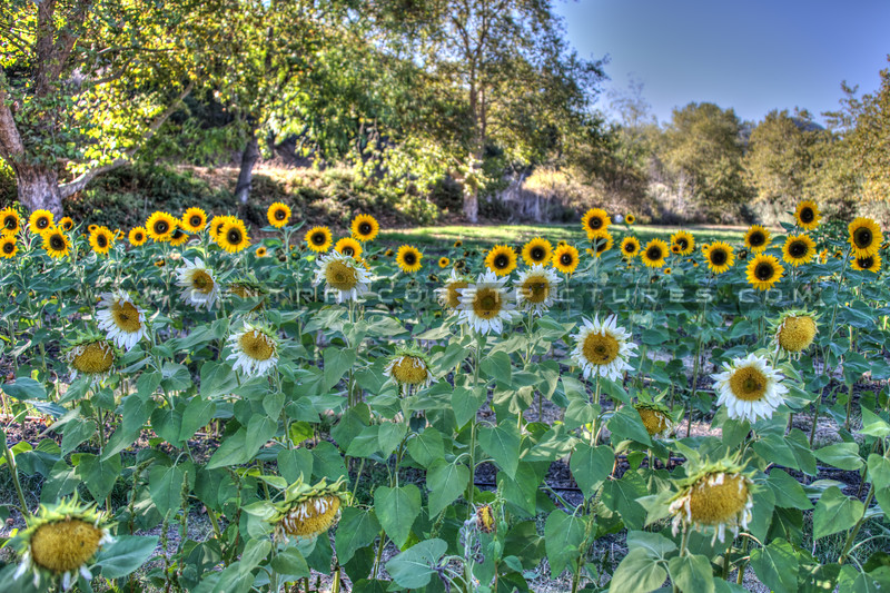 avila barn sunflowers 5717