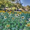 avila barn sunflowers 5717