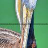 avila-pelican_4934