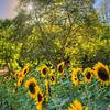 avila barn sunflowers 5708