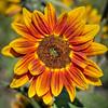 avila barn sunflowers 5674