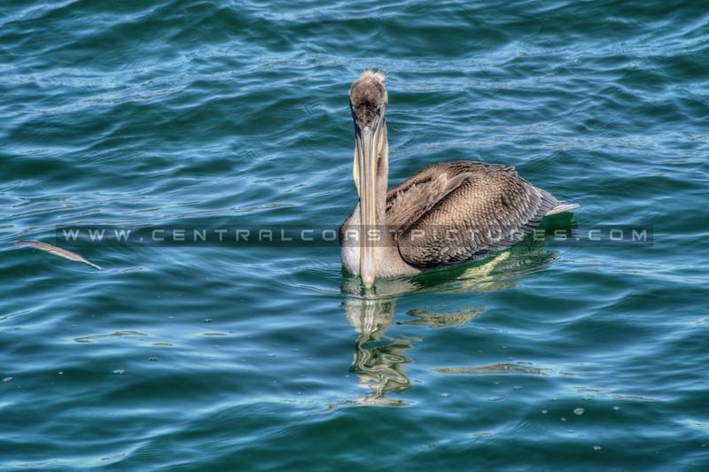 avila pelican 5067