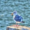 seagull 7601