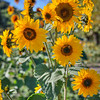 avila barn sunflowers 5640
