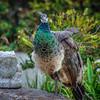 peacock 2753