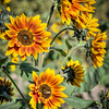 avila barn sunflowers 5671