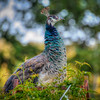 peacock 2787