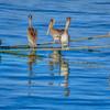 pelicans fav 7555