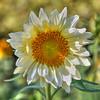 avila barn sunflowers 5714