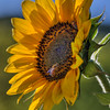 avila barn sunflowers 5641