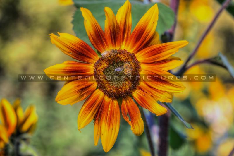 avila barn sunflowers 5658