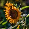 avila barn sunflowers 5695