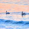 avila beach pelicans-2311-