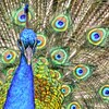 peacock_4686