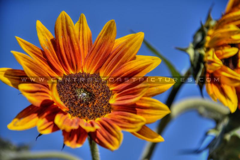 avila barn sunflowers 5684