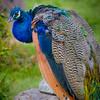 peacock 2892