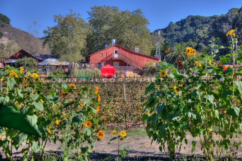 avila barn sunflowers 5652