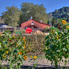 avila barn sunflowers 5652