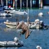 avila pelican 5071