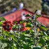 avila barn sunflowers 5701