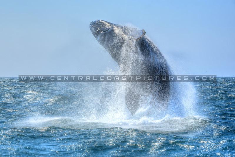 whale breach_7615