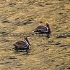 big sur-pelican-3850