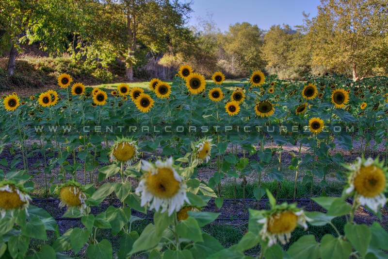 avila barn sunflowers 5718
