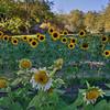 avila barn sunflowers 5718