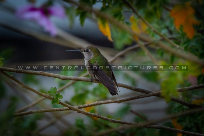 hummingbird 1951