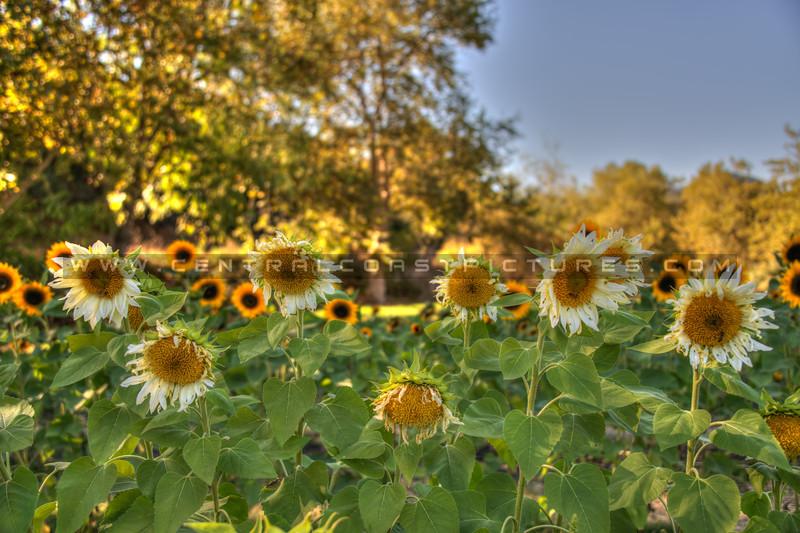 avila barn sunflowers 5716