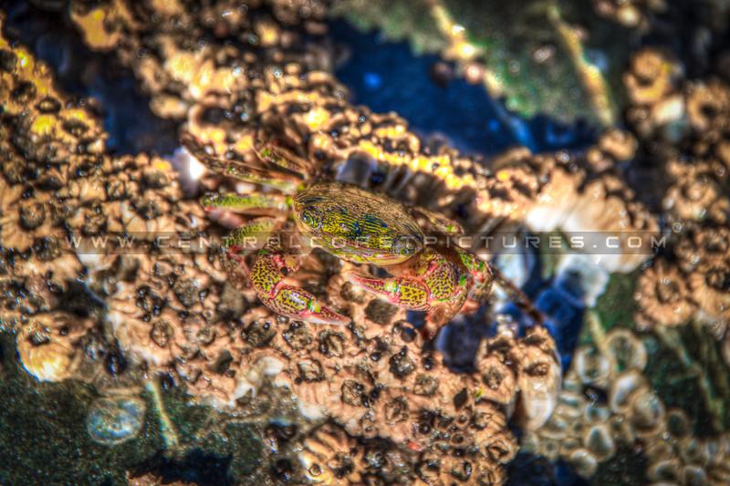 avila beach crab-2221-