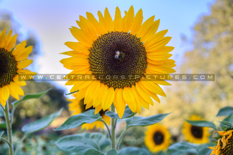 avila barn sunflowers 5703