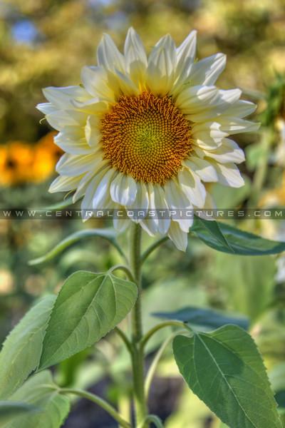 avila barn sunflowers 5715