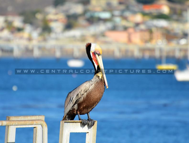 pelican_1220