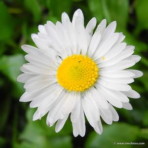 Daisy close up.