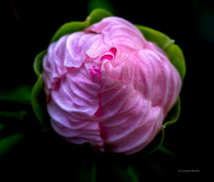 Hibiscus 'Chrysalis' 1