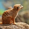 Meerkat, Houston Zoo