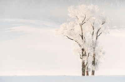 Cottonwood tree  with hoar frost on misty morning