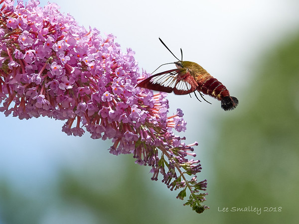 Clear-wing Hummingbird Moth